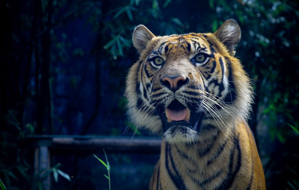 Picture cat, predator, Sumatran tiger