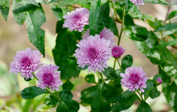 Picture leaves, pink, chrysanthemum