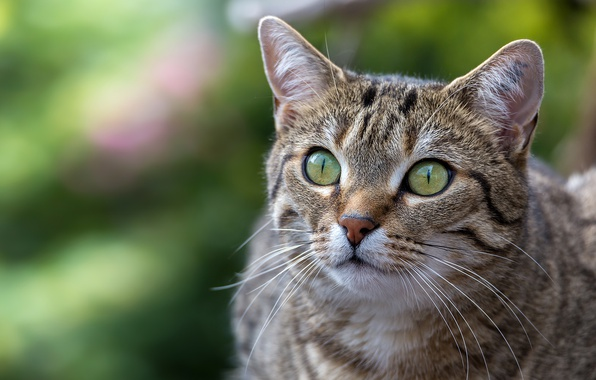 Picture cat, cat, look, background, portrait, muzzle
