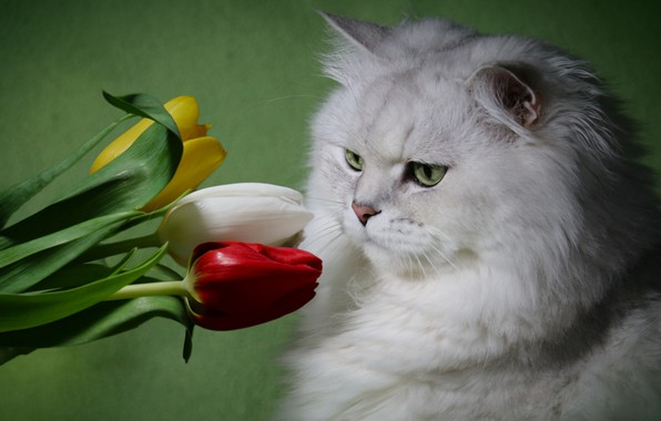 Picture white, cat, flowers, fluffy, tulips