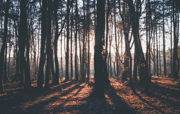 Picture forest, rays, light, trees, shadows