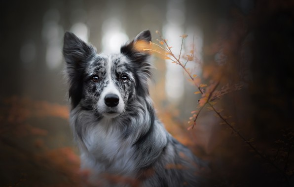 Picture autumn, look, face, branches, dog, bokeh, The border collie