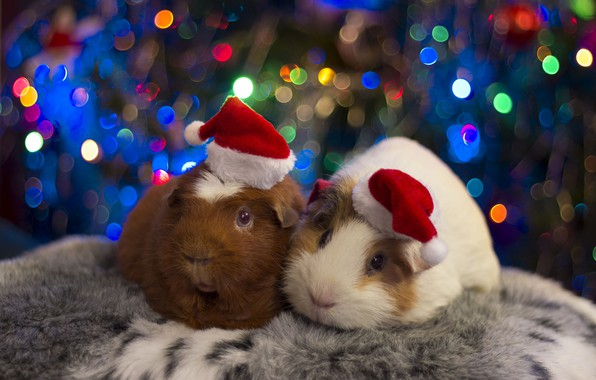 Picture holiday, pair, beanie, Guinea pigs