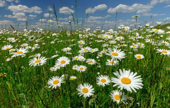 Picture flowers, chamomile, meadow, Russia
