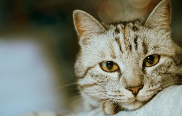 Picture eyes, Cat, animal, fur, ears, close up, whiskers, depth of field, feline, snout, intense look