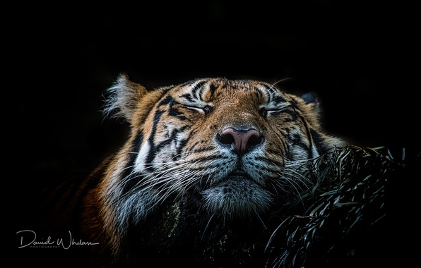 Picture face, tiger, beast