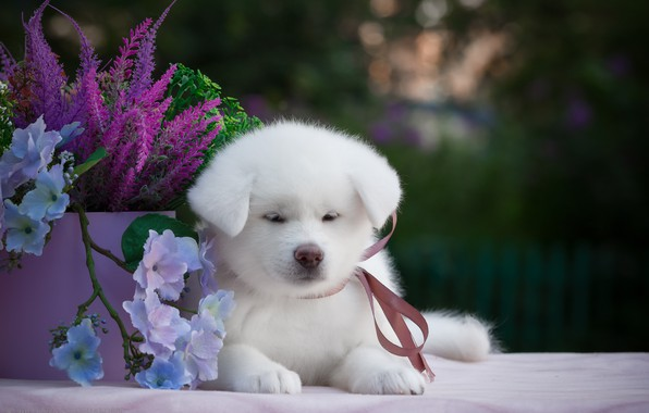 Picture flowers, background, animal, puppy, Samoyed