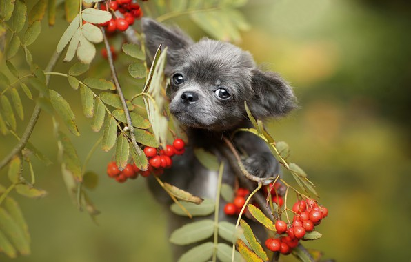 Picture look, leaves, branches, berries, puppy, face, Rowan, bokeh, doggie