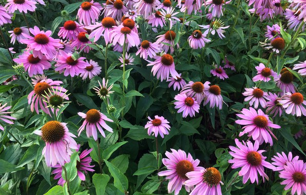 Picture Flowers, Nature, Flower, Plant, Echinacea, Flora
