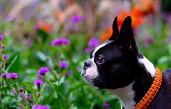 Picture face, flowers, portrait, dog, profile, collar, bokeh, Boston Terrier