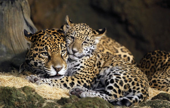 Picture child, USA, mother, Jaguars, Milwaukee County Zoo