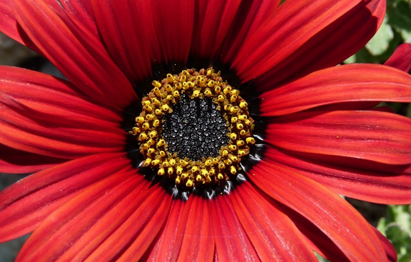 Picture Macro, petals, Osteospermum, Osteospermum, Makro