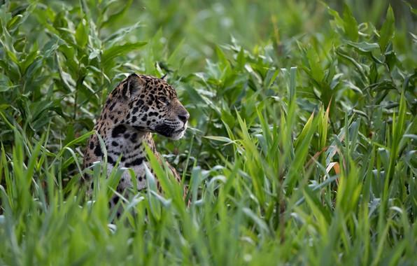 Picture face, thickets, predator, Jaguar, profile, wild cat, Peeps