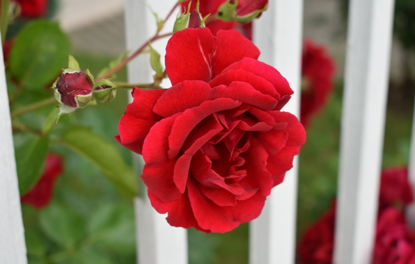 Picture Bokeh, Red rose, Red rose