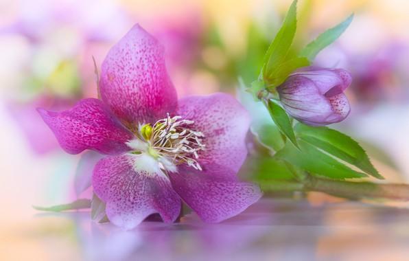 Picture petals, Bud, Hellebore