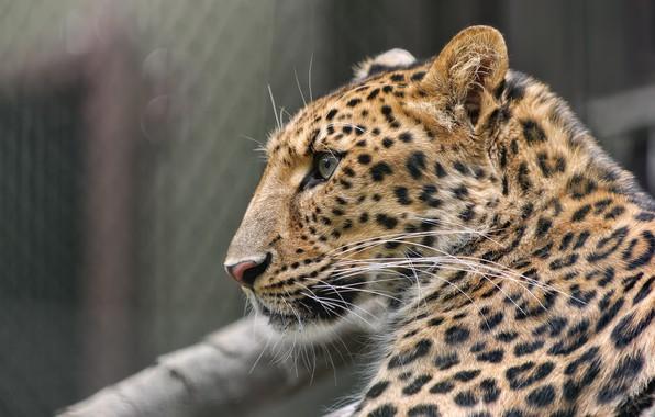 Picture face, predator, spot, leopard, profile, fur, color, wild cat, zoo