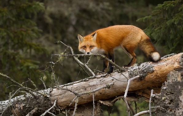 Picture forest, tree, Fox, red, log