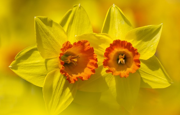 Picture flower, background, petals, Narcissus