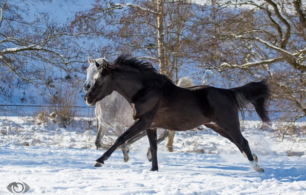 Picture grey, horses, horse, running, pair, two, corral, crow, (с) Oliver Seitz