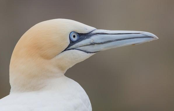 Picture look, bird, beak, Gannet