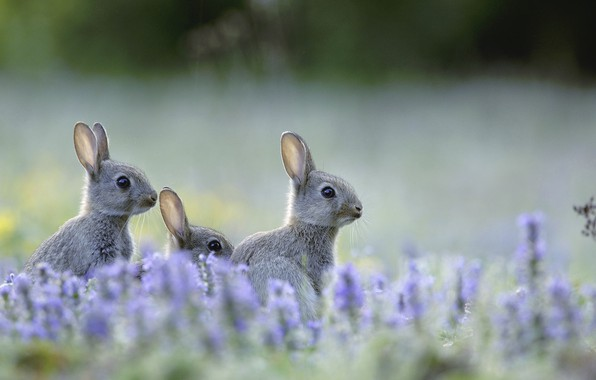 Picture field, flowers, meadow, lavender, wild rabbit, a harbinger of Easter