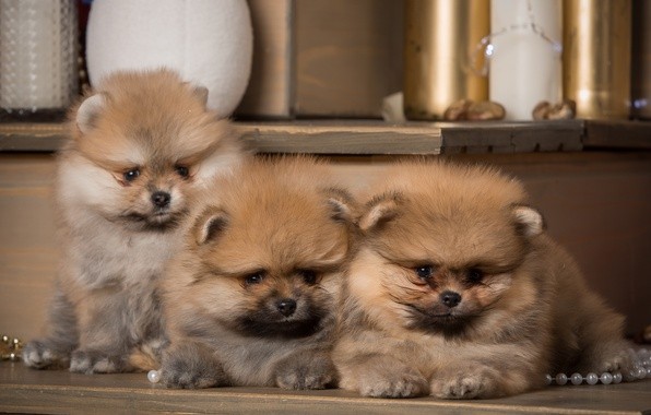 Picture puppies, trio, Spitz