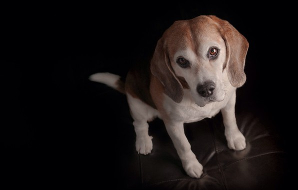 Picture look, dog, puppy, face, black background, doggie, Beagle