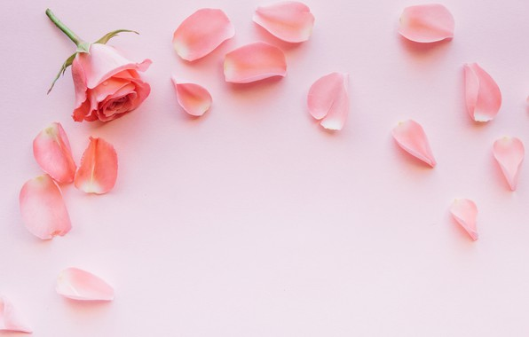 Picture flowers, pink, rose, petals