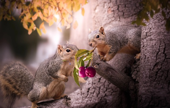 Picture animals, nature, berries, sprig, tree, foliage, a couple, proteins, rodents, Thai Phung