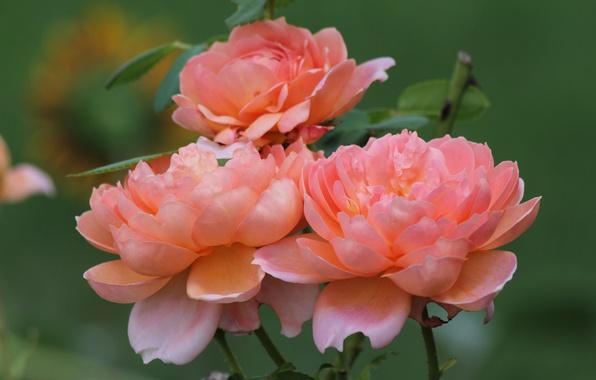 Picture roses, petals, peach