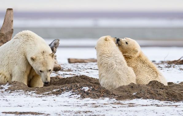 Picture predators, family, three, cubs, polar bears