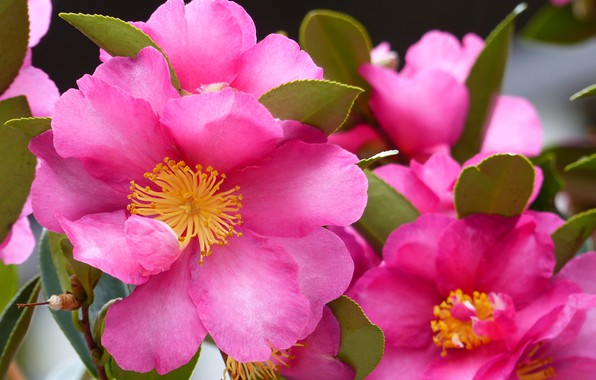 Picture macro, petals, Camellia