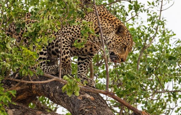 Picture predator, leopard, wild cat, on the tree
