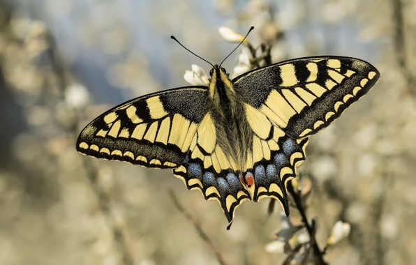 Picture butterfly, bokeh, swallowtail