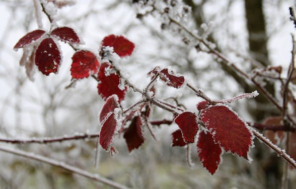 Picture cold, winter, leaves, macro, snow, ice, branch, frost