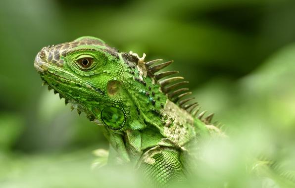 Picture lizard, iguana, bokeh, green iguana