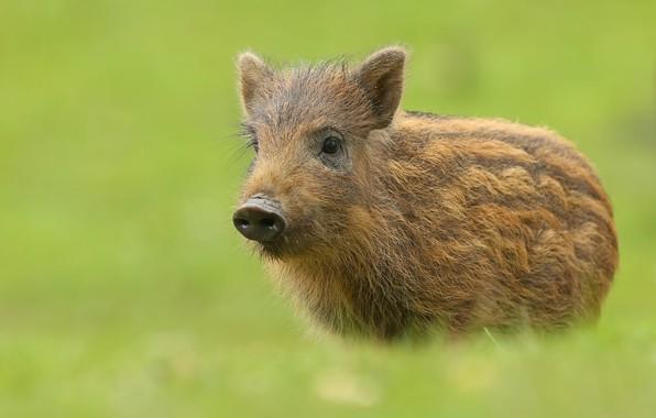 Picture background, animal, pig, hog, Piglet