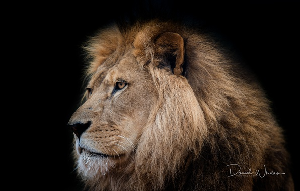Picture Leo, king, beast