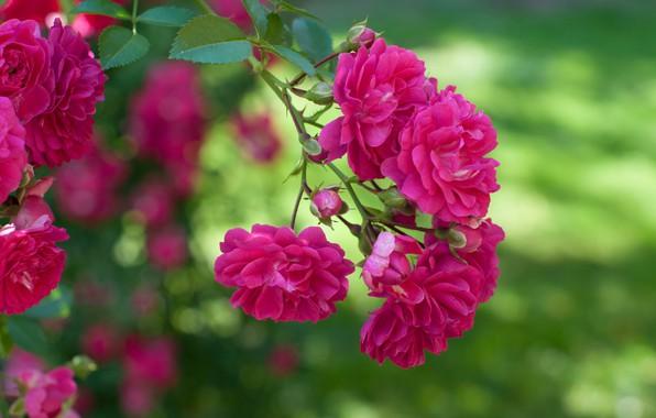 Picture rose, branch, bokeh, Rose climbing