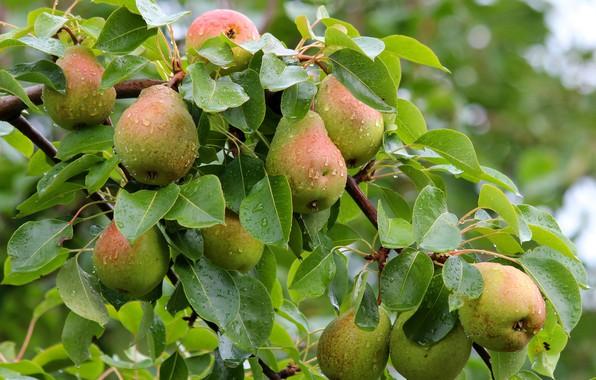 Picture autumn, harvest, pear, cottage