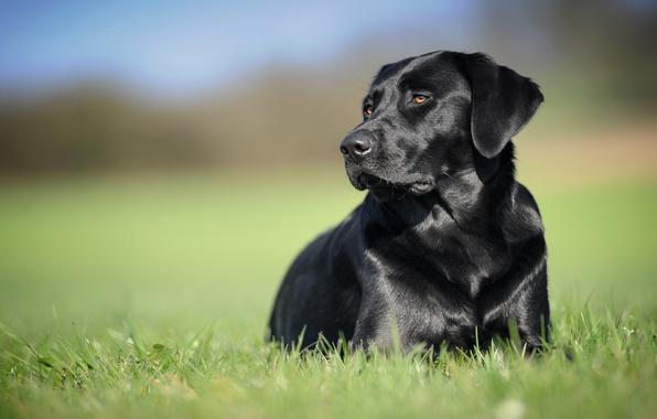 Picture background, black, dog, Labrador Retriever