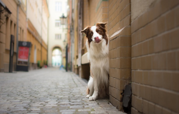 Picture Dog, Street, Border Collie, Look, The border collie, Townhouses