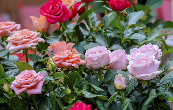 Picture nature, roses, Flowers, buds, a lot