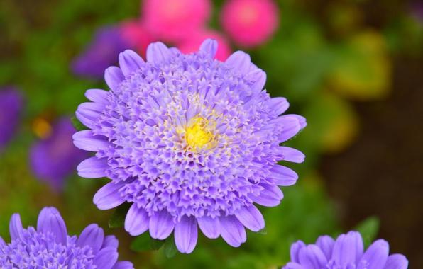 Picture Macro, Macro, Purple flower, Purple flower, Korostovec, Knautia