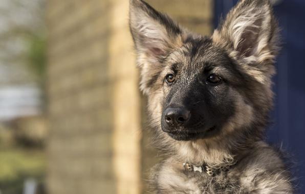 Picture look, face, dog, puppy, ears, German shepherd