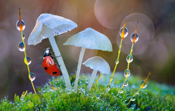 Picture water, drops, macro, nature, Rosa, mushrooms, ladybug, moss, grass, bokeh, Roberto Aldrovandi