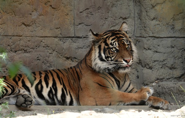 Picture cat, animal, stay, Tiger