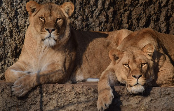 Picture Nature, Cats, Stay, Wild cats, Lioness