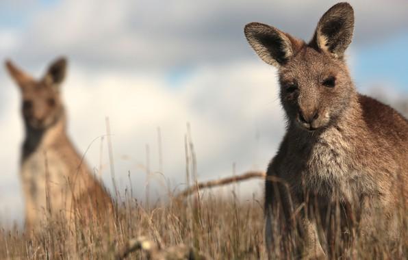 Picture grass, kangaroo, bokeh