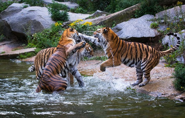 Picture the game, predators, fight, wild cats, tigers, trio